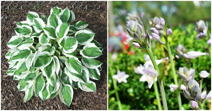Hosta Minuteman Tips For Growing Plantain Lily
