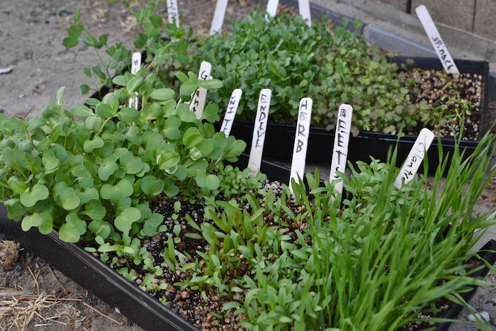 Microgreens in plant trays