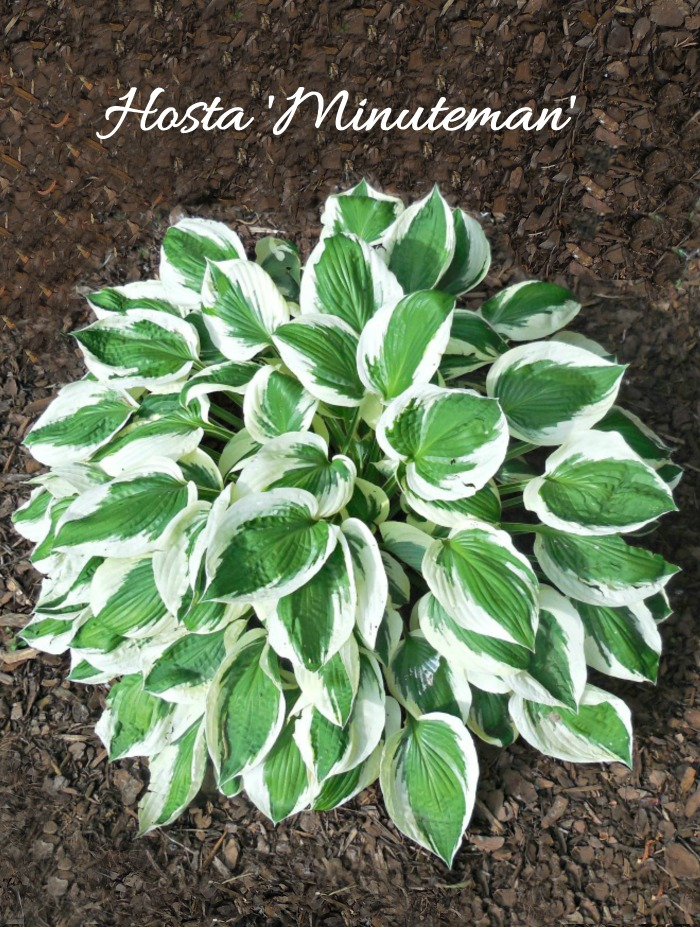 Growing Hosta Minuteman is easy with part shade and even moisture.