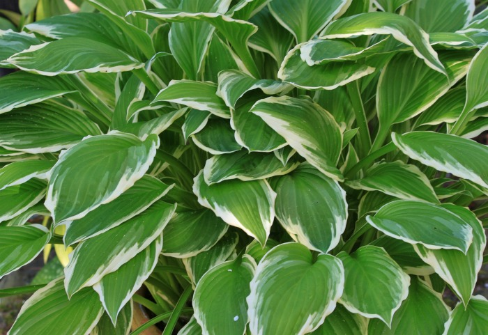 Hosta minuteman will get to a large size easily