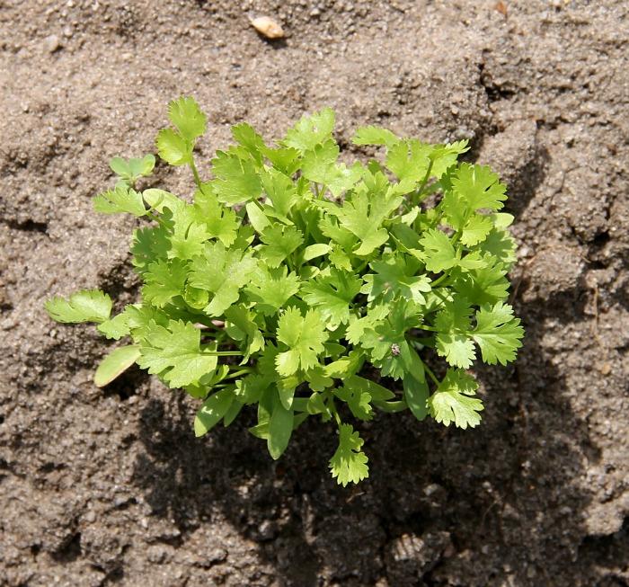planting cilantro