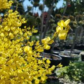 Tips for planting forsythia shrubs