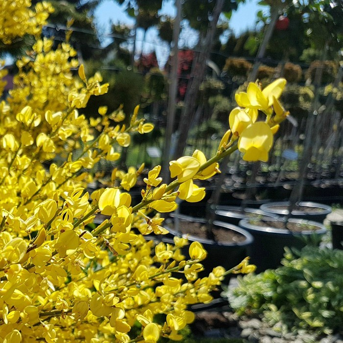 Planting Forsythia -When And How To Plant A Forsythia Shrub
