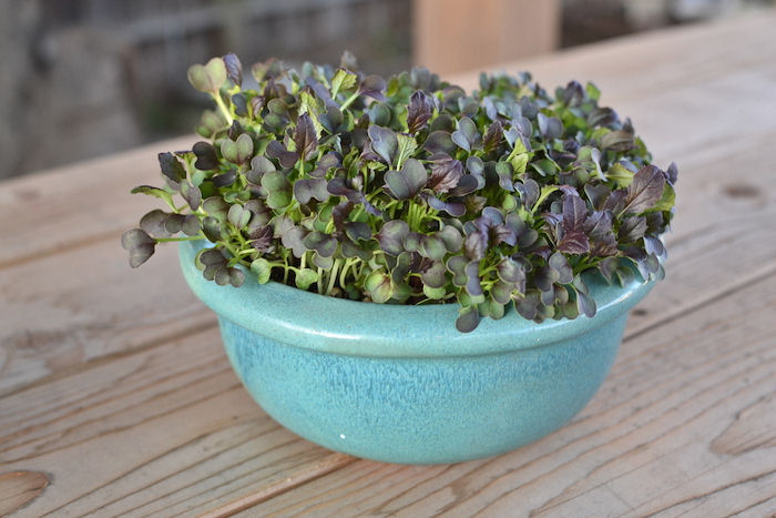 Red mizuna microgreens in a decorative pot