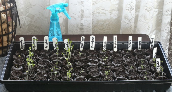 Seedlings sprouting from seeds