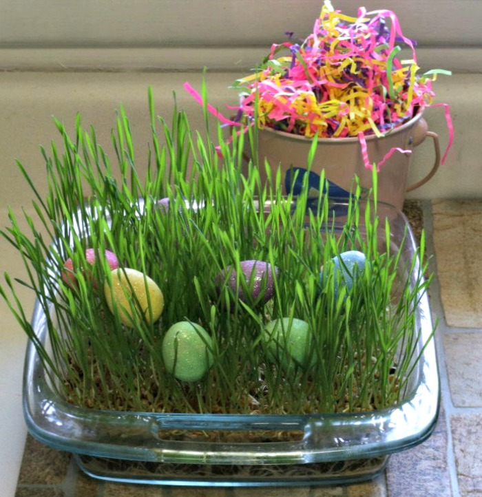 Wheatgrass used for Easter Eggs