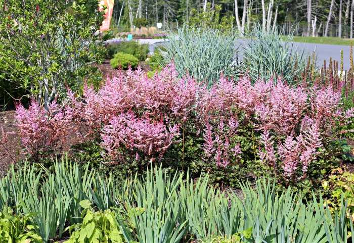 astilbe in a border with bulbs in Boothbay Botanical Gardens