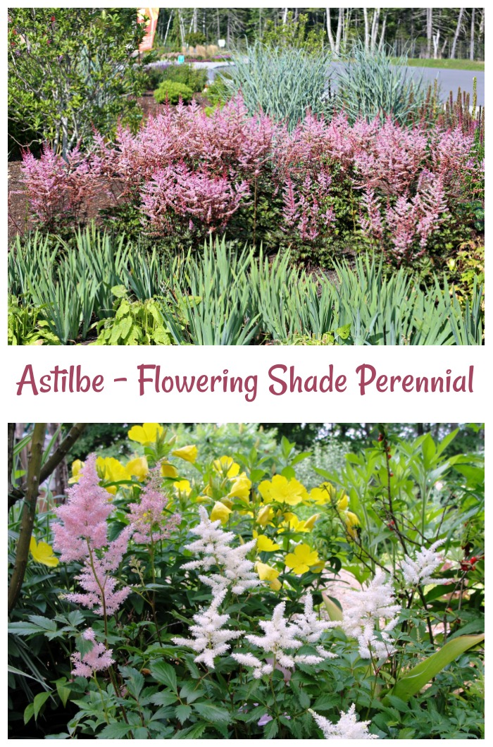 Astilbe is a flowering shade loving perennial