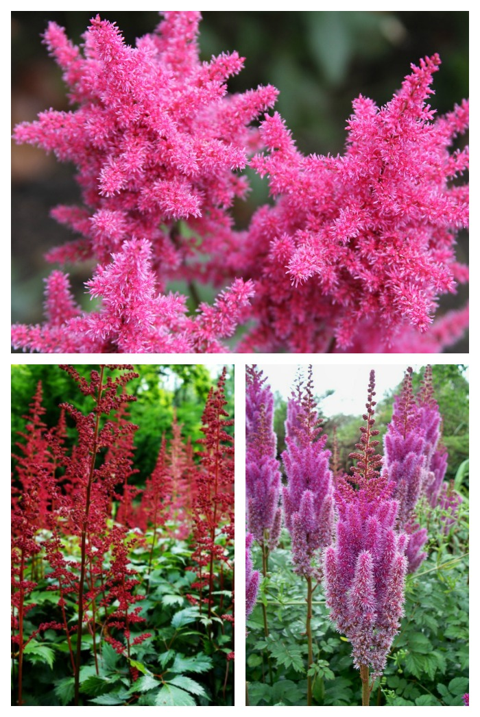 Astilbe is a showy perennial plant that does well and flowers in a shady garden spot.