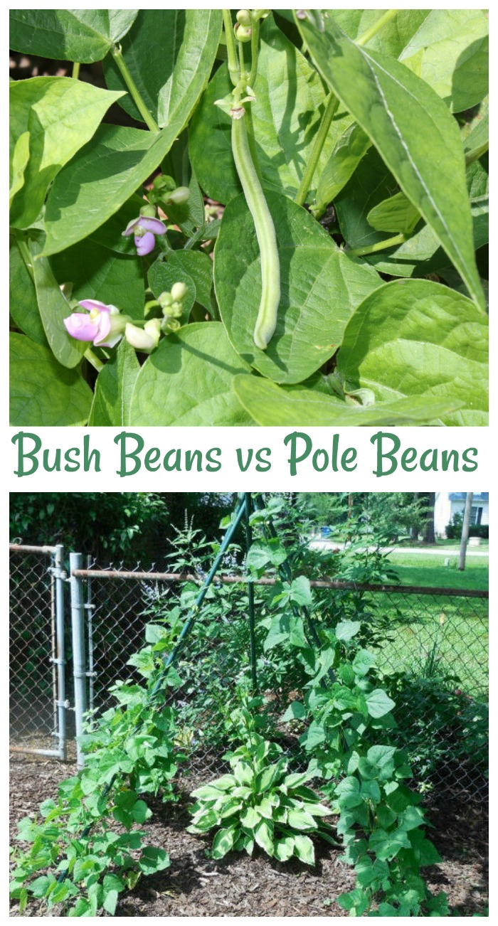 Bush beans vs pole beans - which is the easiest to grow and which takes up the most room?