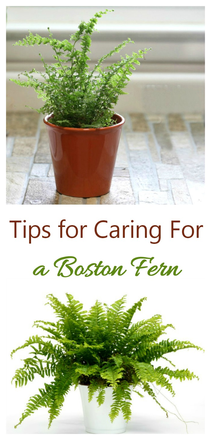 Care of Boston fern (nephrolepis exaltata) means keeping an eye on the humidity and not giving the plant too much sunlight.
