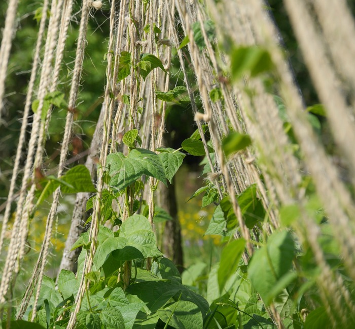 Pole beans climbing on a teepee of strings