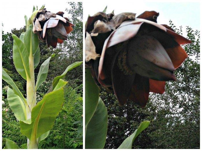 Ensete plant