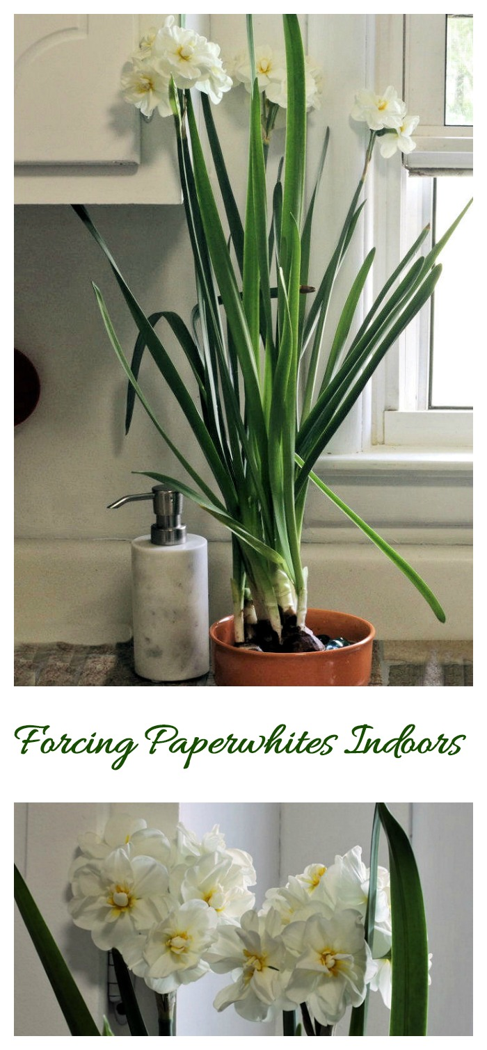To get an early blast of spring, try forcing paperwhites indoors. It's easy to do and the kids will love to watch them grow.