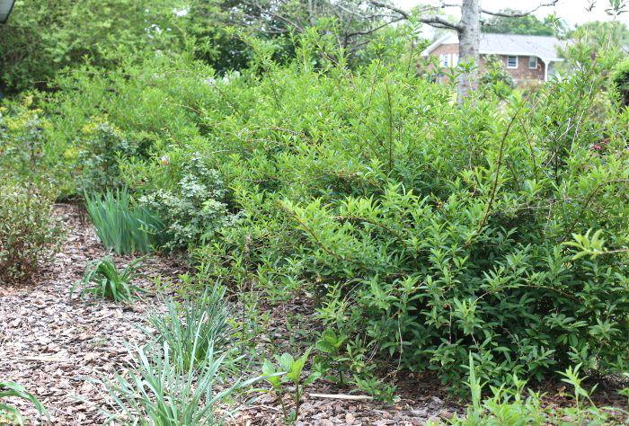 Row of forsythia shrubs
