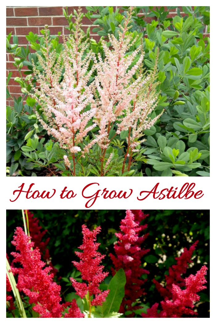 Astilbe is a very popular perennial with fern like foliage and plumes of very showy flowers. It is perfect for a moist, shady garden bed.