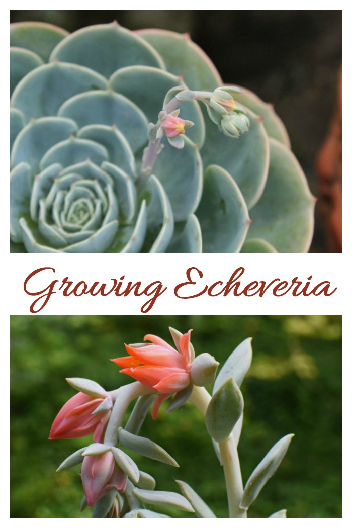 Growing echeverias is easy. Watch the sunlight and water a bit and let it grow. click through to see my growing tips