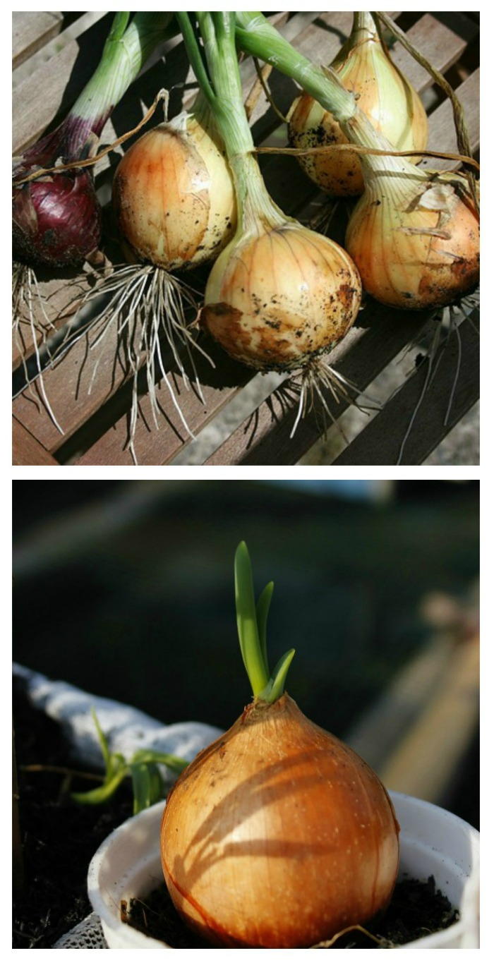 growing onions indoors in containers