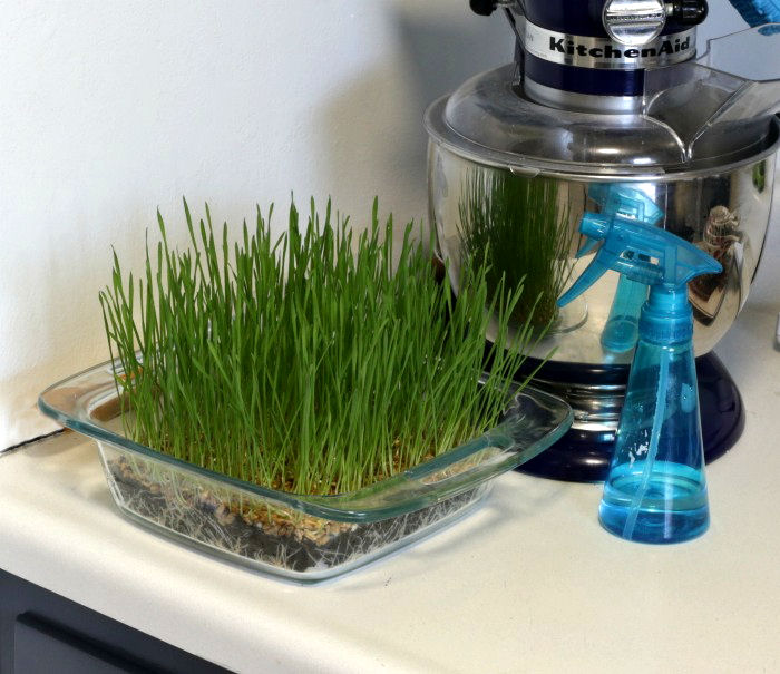 Wheatgrass growing in a kitchen