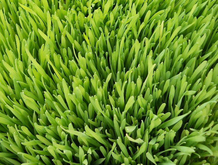 healthy wheatgrass