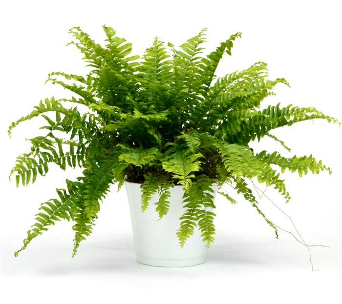 Boston fern in a white pot