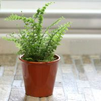 Fern Green Fantasy is a small version of the Boston fern