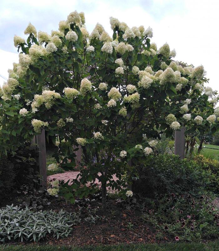 Paniculata hydrangeas