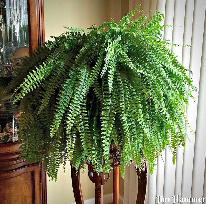 Boston Fern on a Pedestal planter