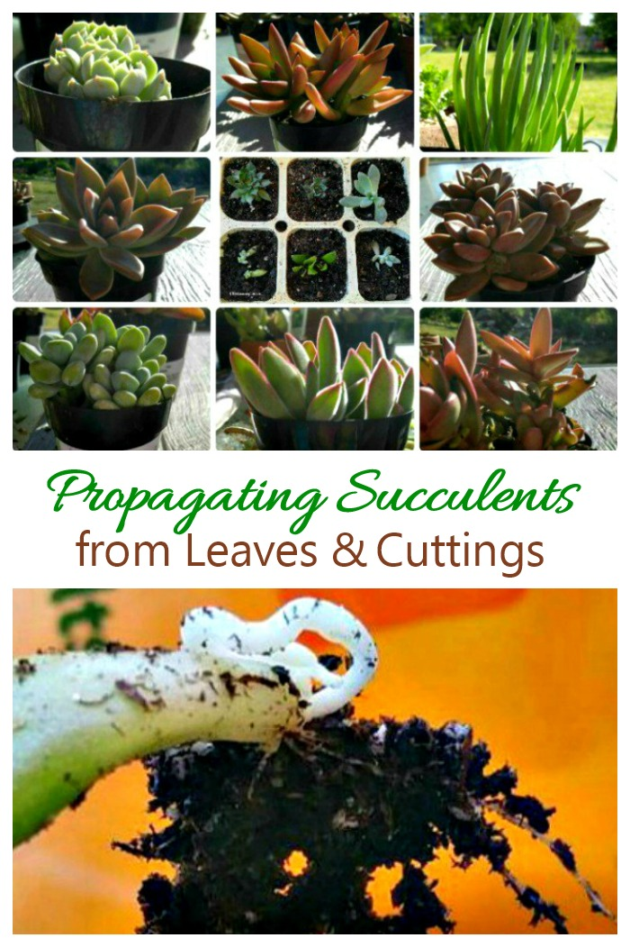 Propagating succulent leaves and cuttings is very easy to do and will give you new plants for free.