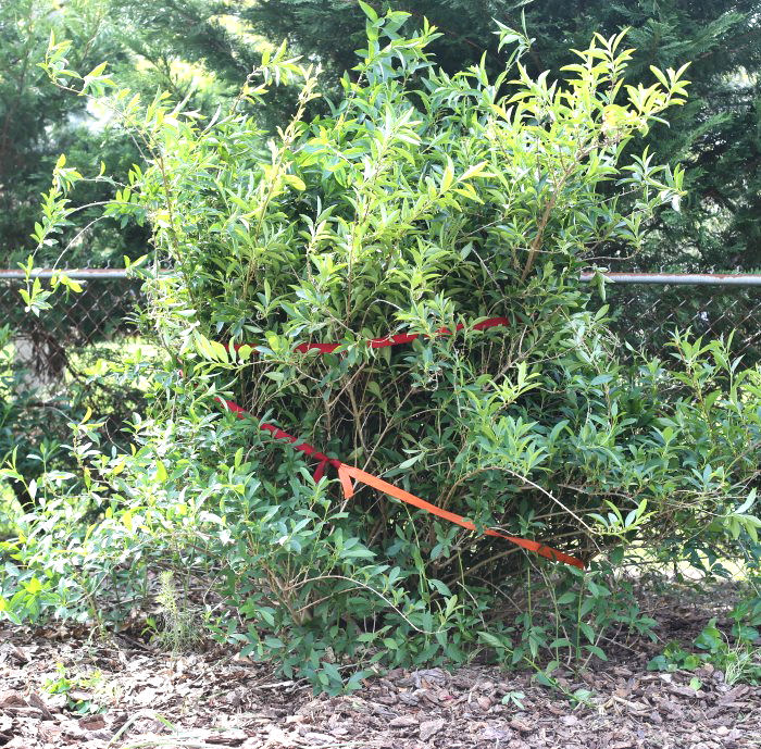 Car straps make it easy to get to the base of a large forsythia to prune it.