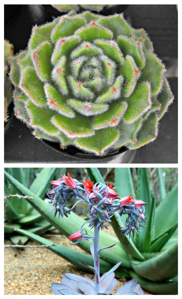 echeveria and flowers