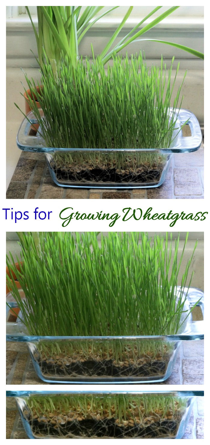 Wheatgrass is a beneficial product that is super easy to grow at home. See my tips for growing wheatgrass, how long it takes to grow and how to harvest and use wheatgrass on the Gardening Cook