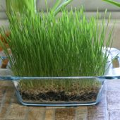 Tips for growing Wheatgrass