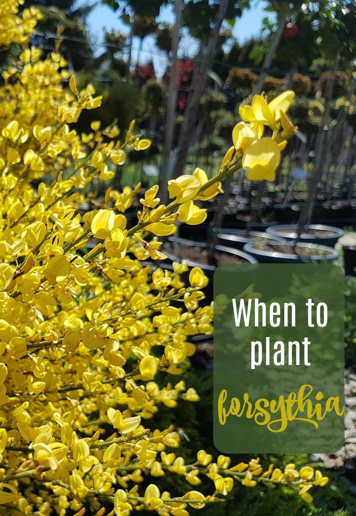 Find out when to plant forsythia shrubs