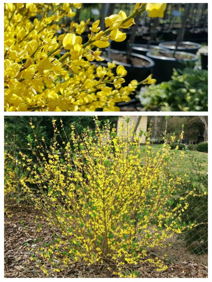 Find out when to plant forsythia perennials