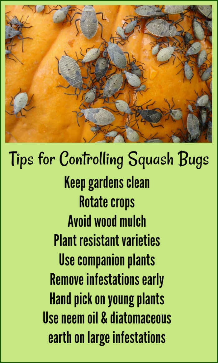 Find out how to kill squash bugs with this printable