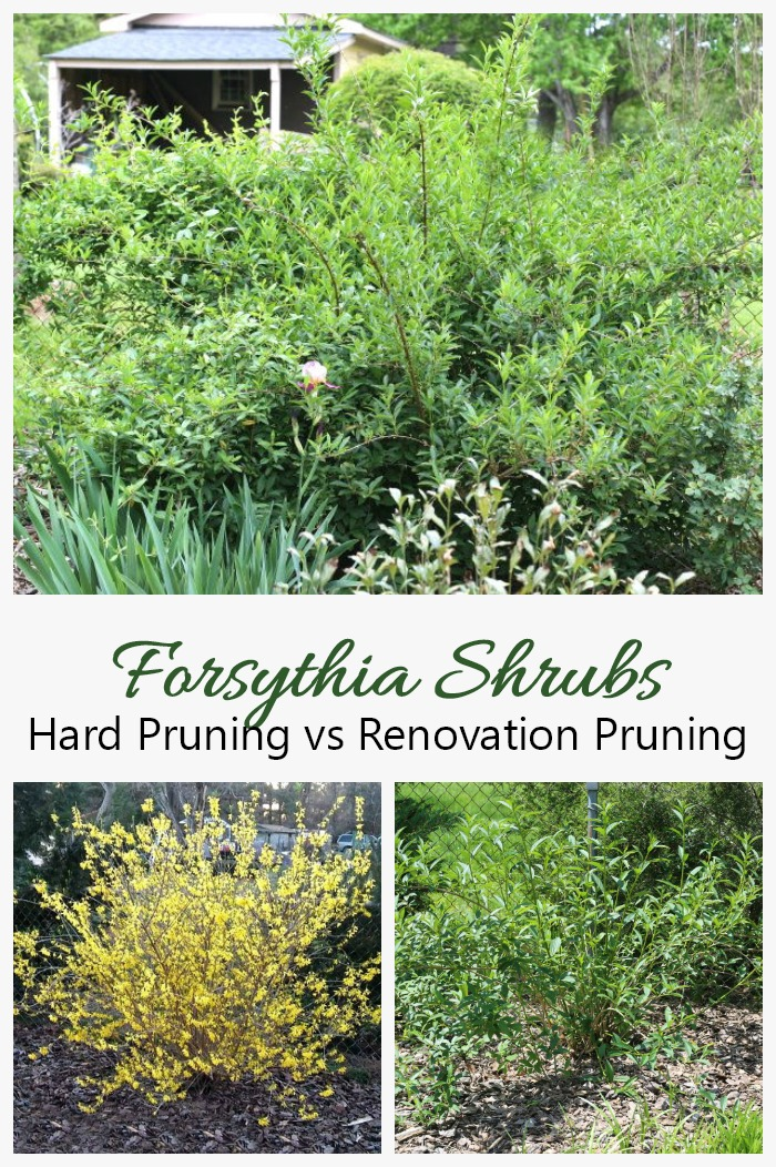 Renovation Pruning for Overgrown Forsythia Shrubs vs Hard Pruning Forsythia. This tutorial shows the difference between renovation pruning and hard pruning of forsythia. See my step by step process to trim very overgrown forsythia bushes