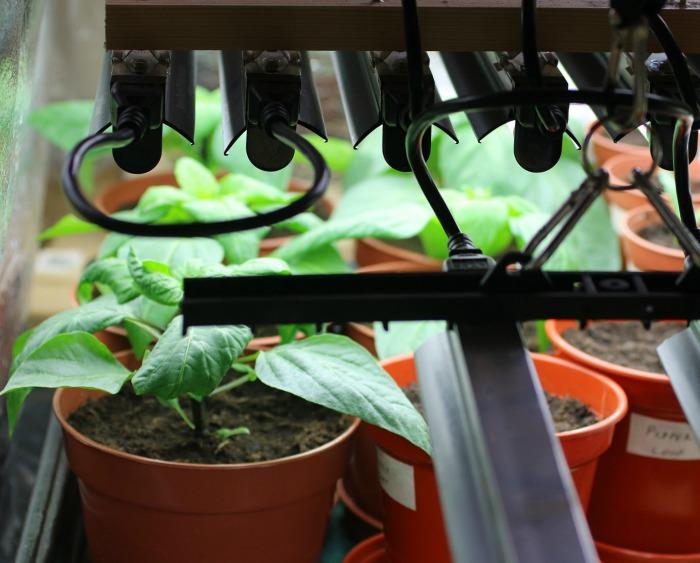 Grow lights keep plants from getting leggy