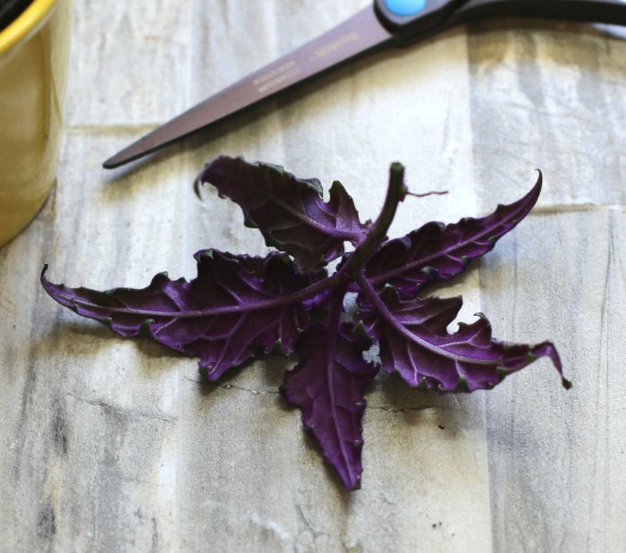 Healthy purple passion cutting
