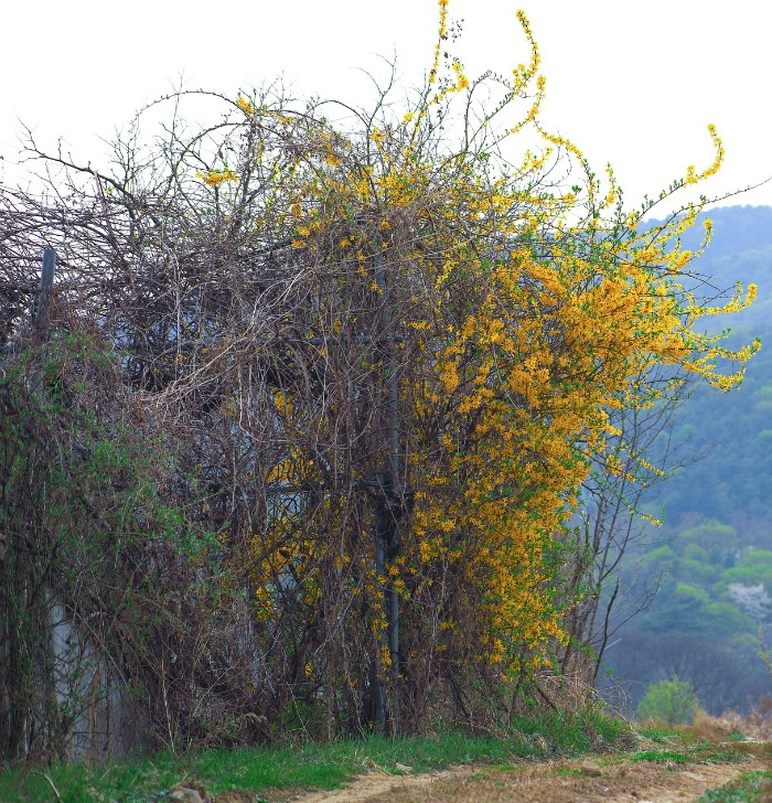 Huge overgrown forsythia