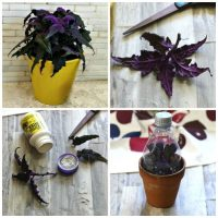 Taking cuttings from a purple passion plant