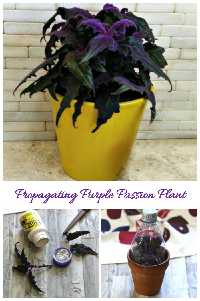 Purple passion plant cuttings root very easily and will give you new plants for free. See how to do this in just a few steps