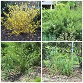 Renovation pruning vs hard pruning of forsythia