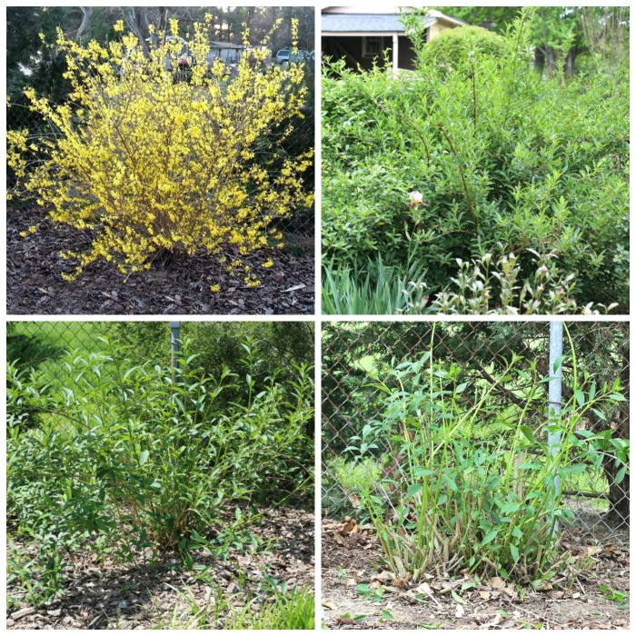 Renovation Pruning for Overgrown Forsythia Shrubs vs Hard Pruning Forsythia