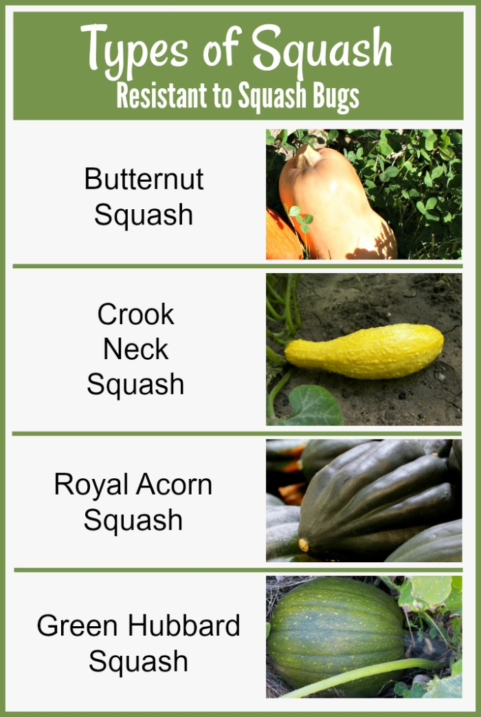 Types of squash that are resistant to squash bugs