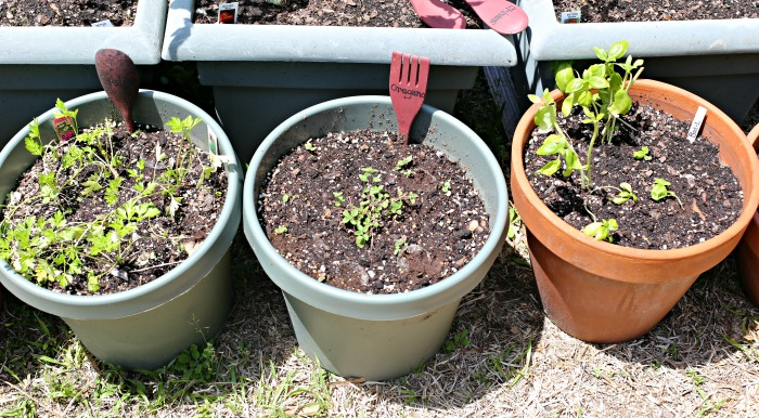 Herb planters with baby seedlings