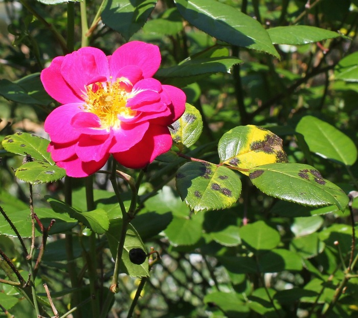 Use a solution of baking soda and water for black spot on roses.