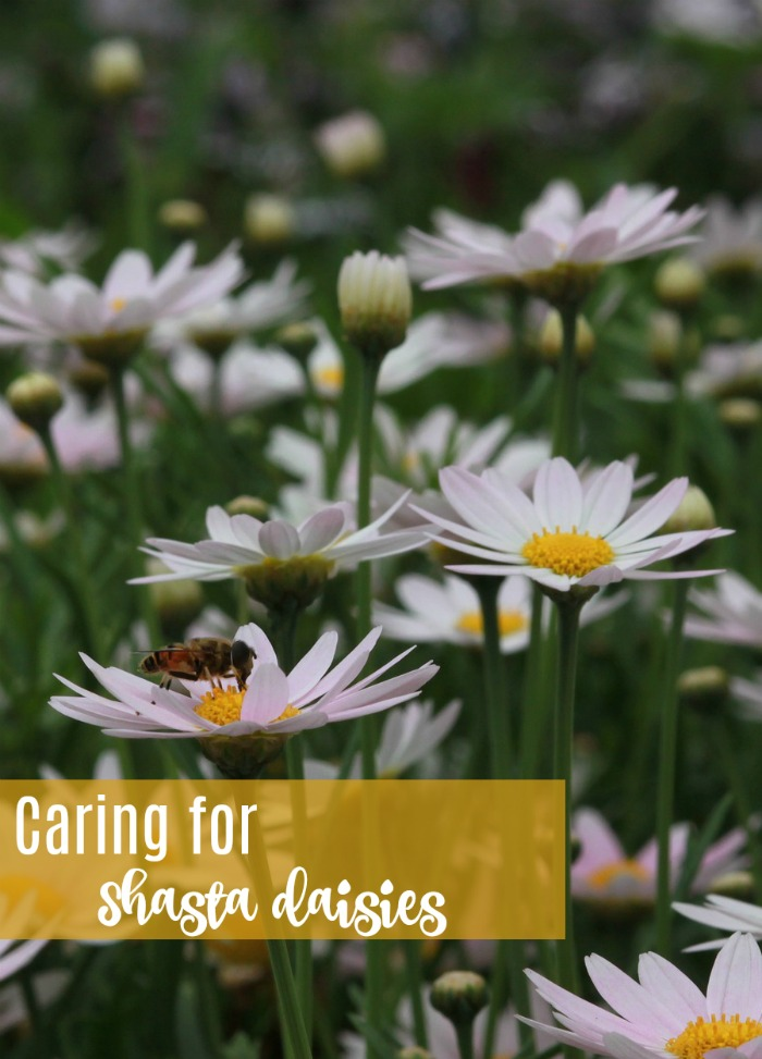 Get tips for the care of Shasta Daisies