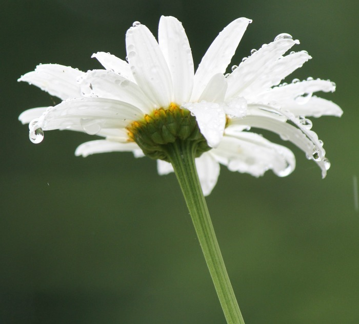 Shasta daisies are quite drought friendly