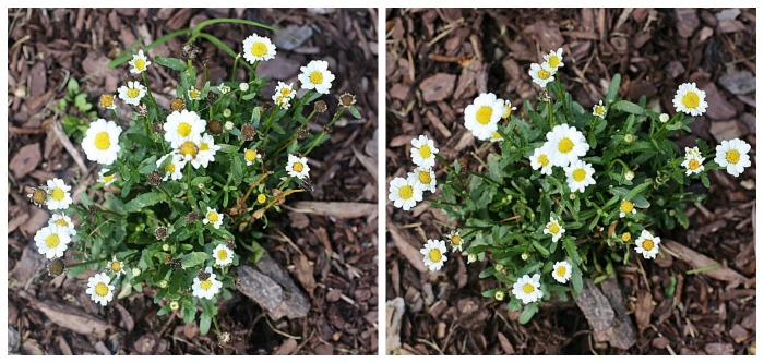 Shasta daisies will become fuller and produce more flowers if you deadhead them.